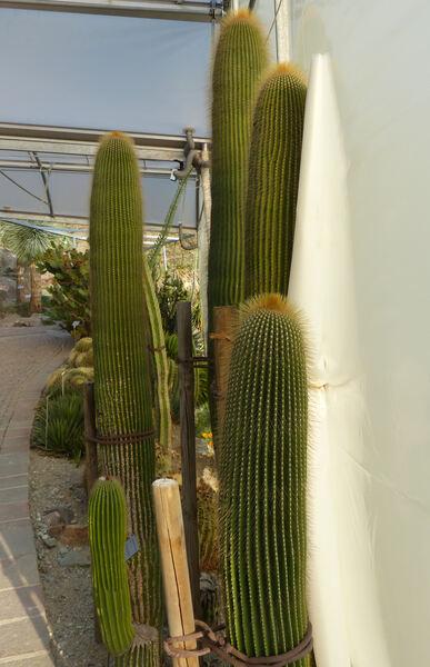 Neobuxbaumia polylopha (E.Y. Dawson) Bravo, Scheinvar & Sanchez-Mej