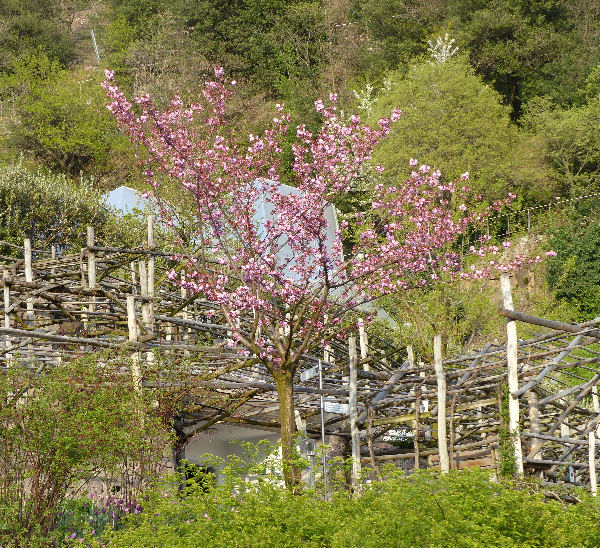 Prunus 'Oku-miyako'
