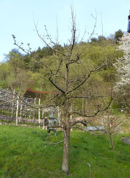 Malus domestica (Borkh.) Borkh. 'Tiroler Spitzlederer'