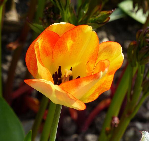 Tulipa 'American Dream'
