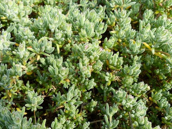 Drosanthemum floribundum (Haw.) Schwantes