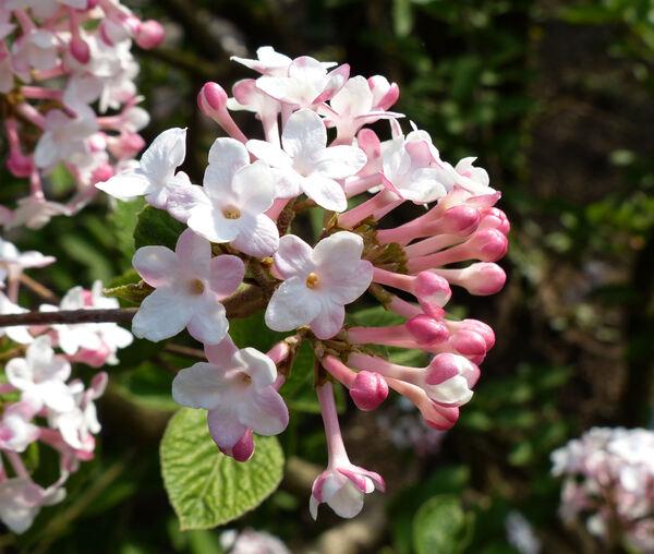 Viburnum x juddii hort.