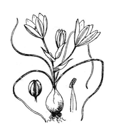 Ornithogalum corsicum Jord. & Fourr.