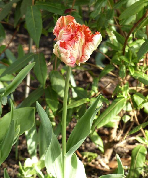 Tulipa 'Texas Flame'
