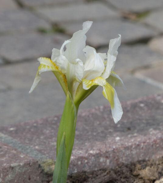 Iris 'Crystal Bright'