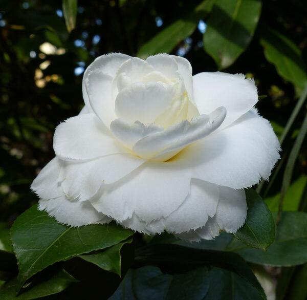 Camellia japonica L. 'Fimbriata Alba'