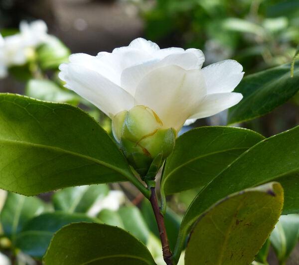 Camellia sasanqua Thunb. 'Little Pearl'