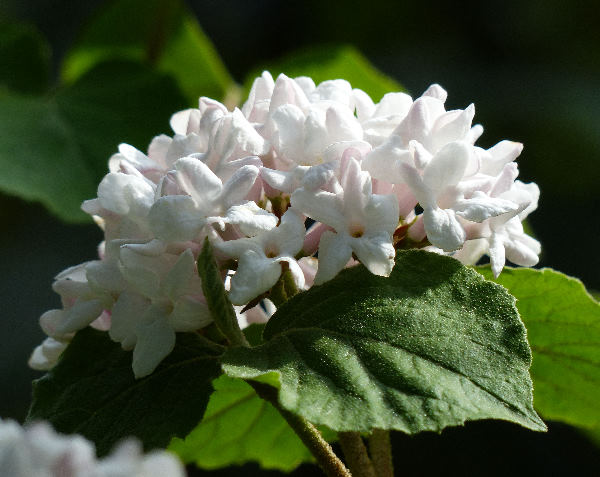 Viburnum carlesii Hemsl. 'Aurora'