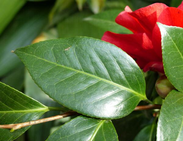 Camellia japonica L. 'San Dimas'