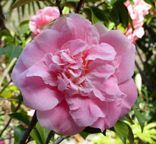Camellia japonica L. 'Tiffany'