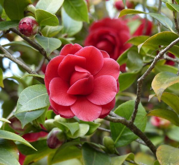 Camellia japonica L. 'Black Lace'