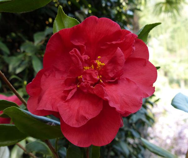 Camellia japonica L. 'Scarlet Glory'