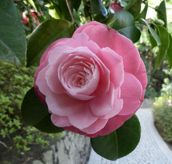 Camellia japonica L. 'F.L.M. Principessa di Borbone'