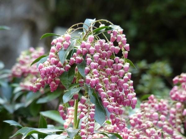Pieris japonica (Thunb.) D.Don 'Valley Valentine'