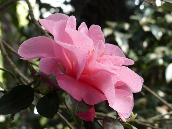 Camellia x williamsii hort. 'Elegant Beauty'