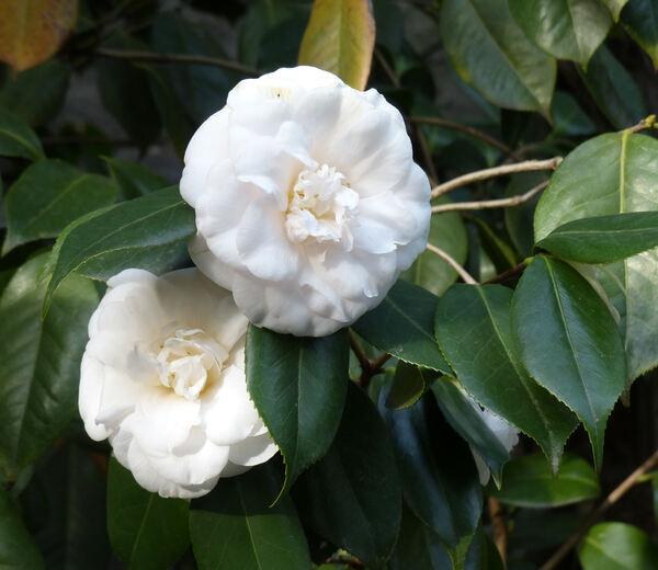 Camellia japonica L. 'Verna Halbert'