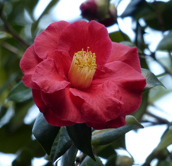 Camellia japonica L. 'Grand Prix'