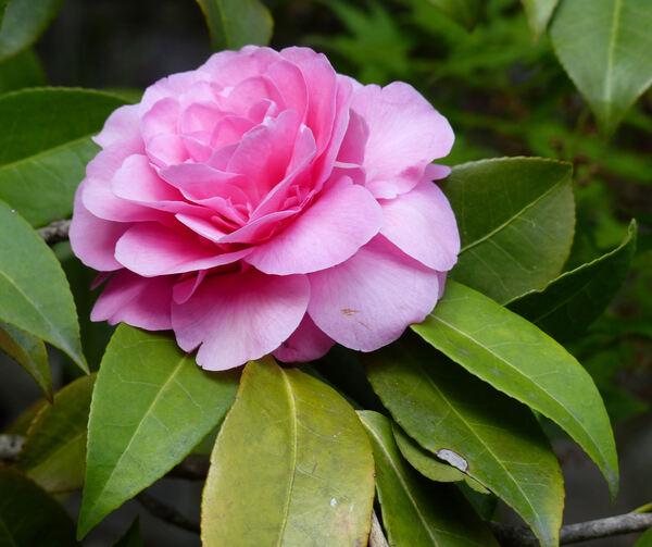 Camellia x williamsii hort. 'Debbie'