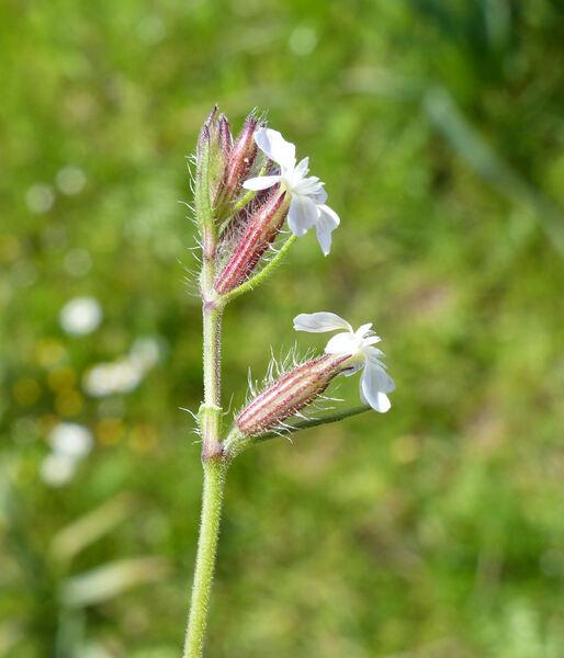 Silene gallica L.