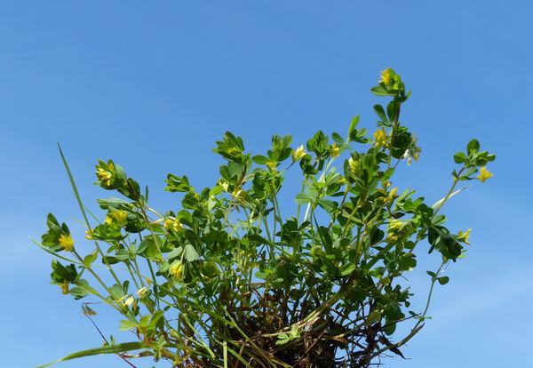 Trifolium micranthum Viv.