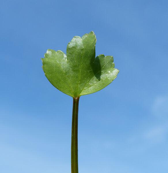 Ranunculus cordiger Viv. subsp. diffusus (Moris) Arrigoni