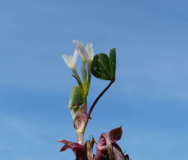 Trifolium subterraneum L.