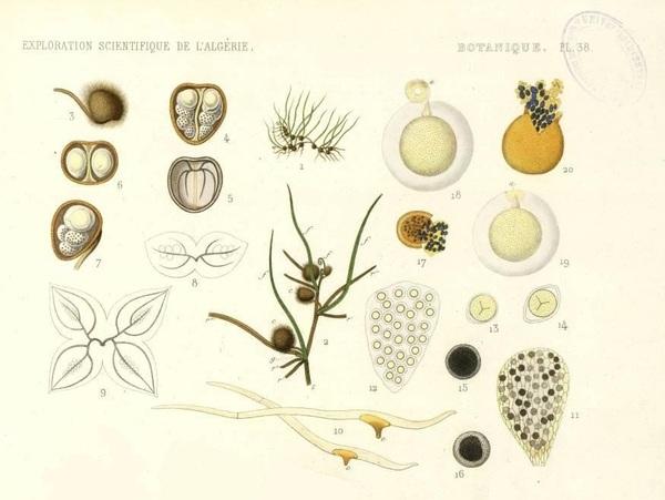 Pilularia minuta Durieu