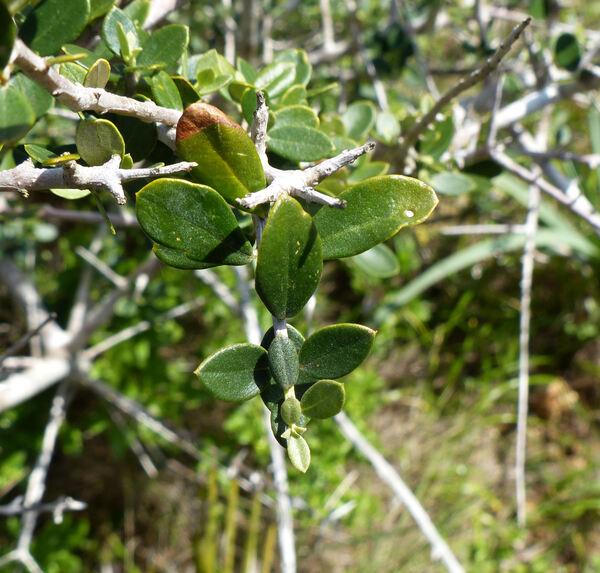 Olea europaea L. var. sylvestris Brot.
