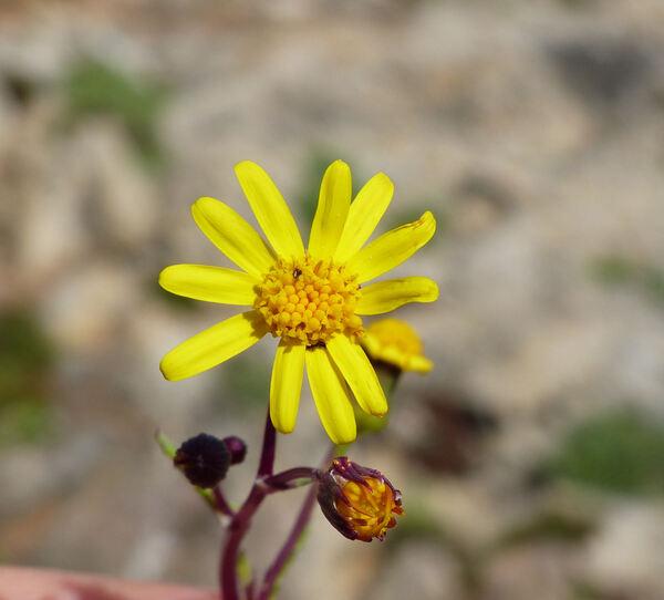 Senecio leucanthemifolius Poir. subsp. leucanthemifolius