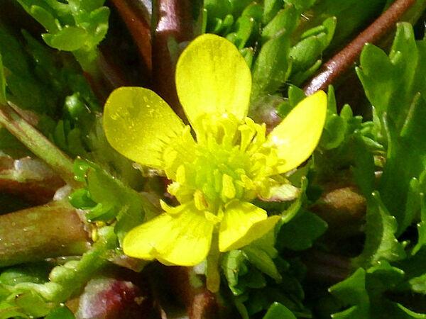 Ranunculus trilobus Desf.
