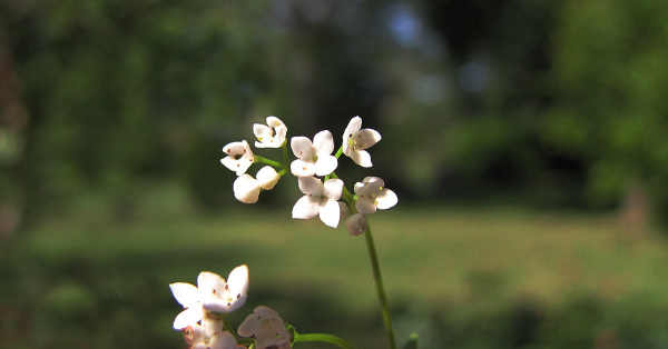 Galium debile Desv.