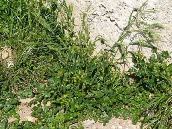 Kundmannia sicula (L.) DC.