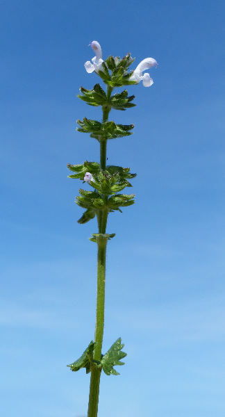 Salvia clandestina L.