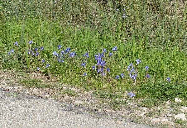 Moraea sisyrinchium (L.) Ker Gawl.