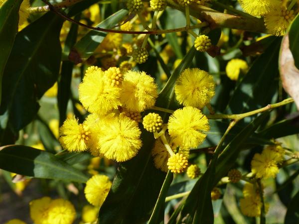 Acacia saligna (Labill.) H.L.Wendl.