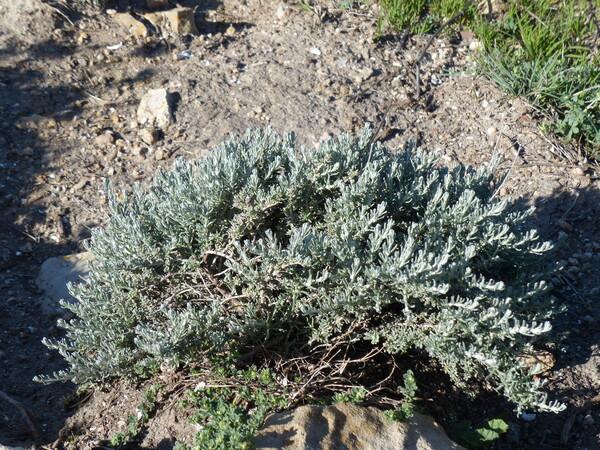 Helichrysum italicum (Roth) G.Don subsp. tyrrhenicum (Bacch., Brullo & Giusso) Herrando, J.M.Blanco, L.Sáez & Galbany
