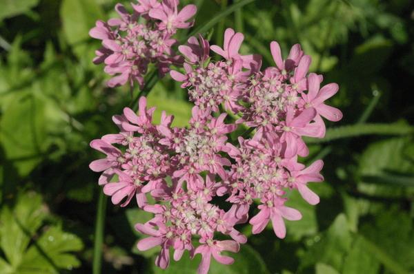 Heracleum austriacum L. subsp. siifolium (Scop.) Nyman