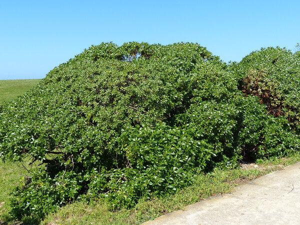 Myoporum laetum G.Forst.