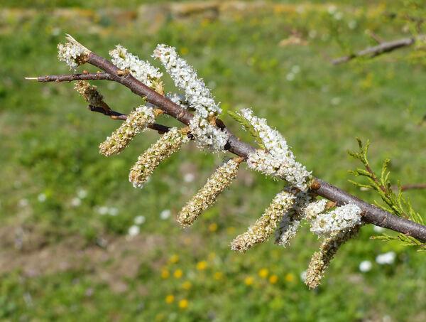 Tamarix dalmatica Baum