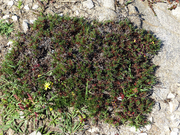 Limonium acutifolium (Rchb.) Salmon subsp. tenuifolium (Bertol. ex Moris) Arrigoni