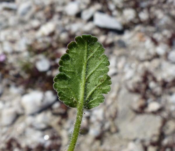 Erodium corsicum Léman