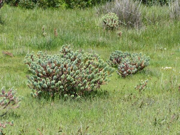 Euphorbia pithyusa L. subsp. pithyusa