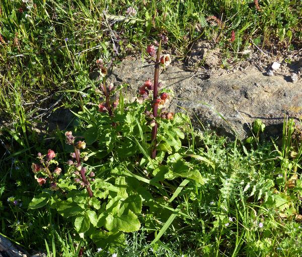 Scrophularia trifoliata L.
