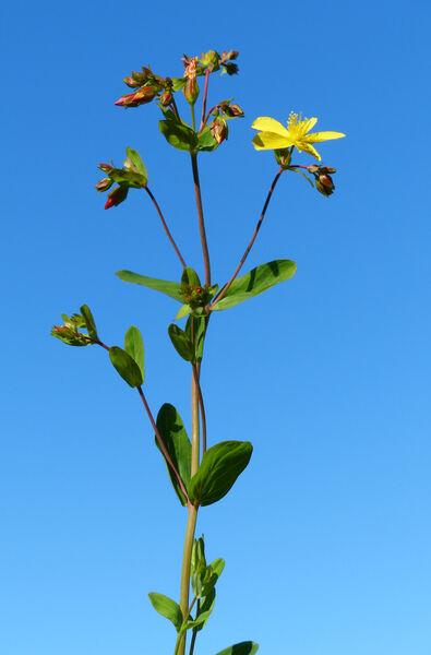 Hypericum perfoliatum L.