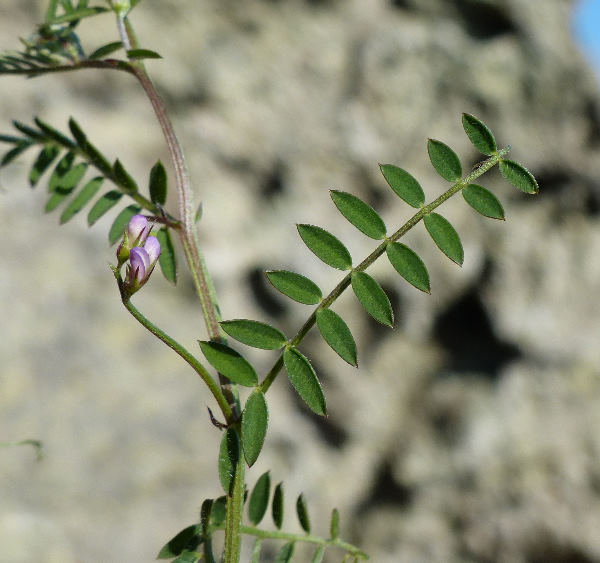 Vicia disperma DC.
