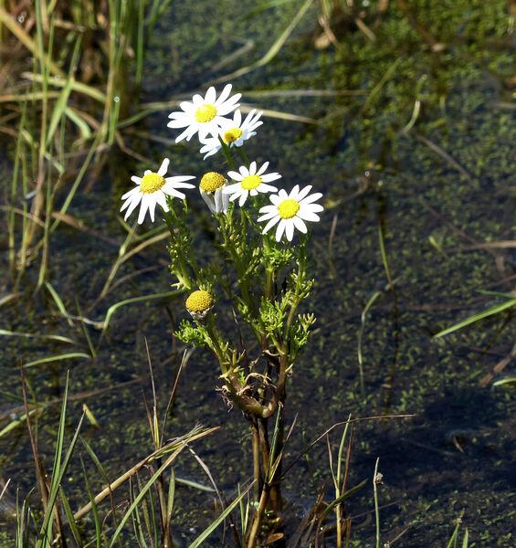 Chamaemelum fuscatum (Brot.) Vasc.