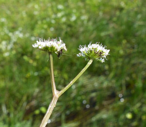 Oenanthe globulosa L.