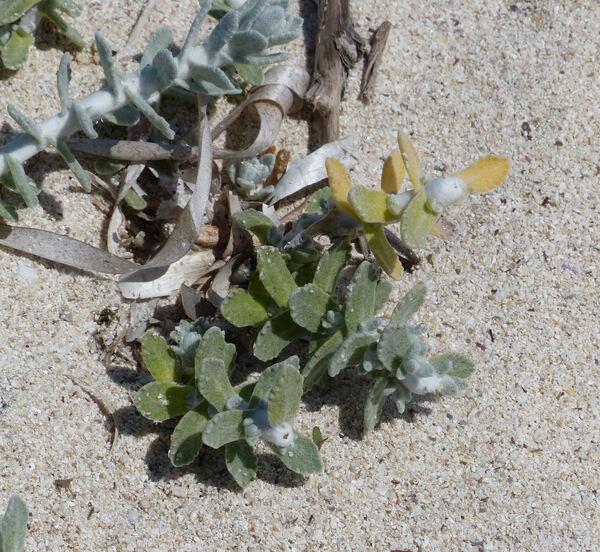 Achillea maritima (L.) Ehrend. & Y.P.Guo subsp. maritima