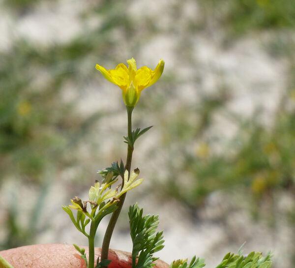 Hypecoum procumbens L. subsp. procumbens