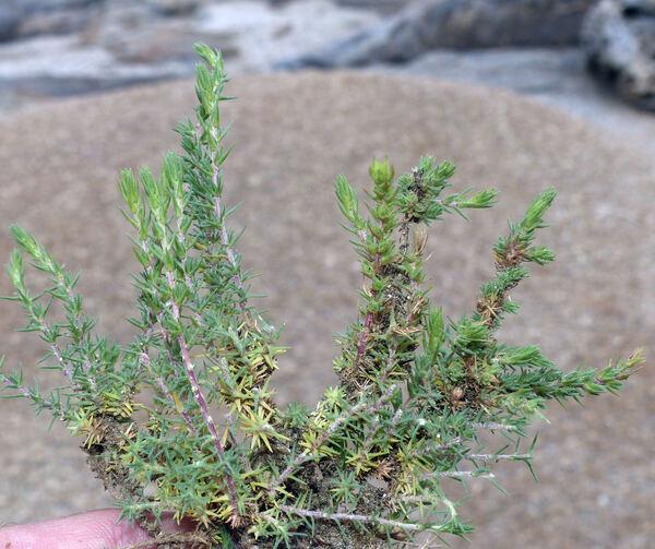 Camphorosma monspeliaca L. subsp. monspeliaca